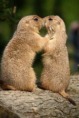 Marmot 003 (swissnature3) Tags: nature animals wildlife marmot murmeltier