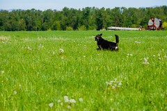 Buddy runs through the field. Arlington, WA. April 2016. (poopoorama) Tags: dog field grass arlington rural washington unitedstates farm run buddy pacificnorthwest forterra dannyngan nikond600 nikoncorporation andrewshay dannynganphotography
