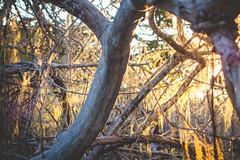 Point-Lobos-43 (hotcommodity) Tags: california trees wild hiking highway1 pacificocean spanishmoss lichen montereycypress magical westcoast gnarled bigsurcoast cypressgrovetrail pointlobosstatenaturalreserve