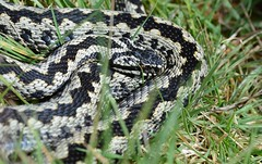 male adder, Vipera berus (willjatkins) Tags: viper snakes britishwildlife adder adders vipera viperaberus londonwildlife ukwildlife springwildlife britishsnakes britishreptiles londonsnakes londonreptiles ukreptile uksnakes britishreptilesandamphibians ukreptiles ukamphibiansandreptiles ukreptilesandamphibians britishamphibiansandreptiles londonreptilesandamphibians snakesofeurope londonamphibiansandreptiles sloughedadder