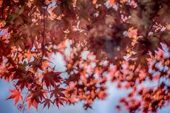 maple colors (kderricotte) Tags: sky tree leaves leaf bokeh outdoor depthoffield japanesemaple pentacon50mm18 sonya6000