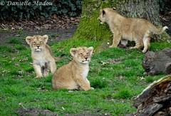 Ravi, Raman & Rana (Mayalma) Tags: zoo lion ravi cubs rana planckendael raman leeuw welpen