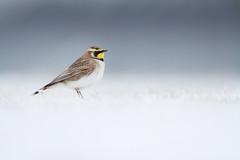 Horned Lark (Matt Bango) Tags: new york winter newyork nature birds superb alt wildlife superior winner jonesbeach lark horned wildbirds hornedlark