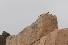 Qasr Hallabat - Umayyad Palace (jrozwado) Tags: museum asia reptile wildlife lizard jordan islamic agama umayyad desertcastle umayyadpalace   hallabat qasralhallabat