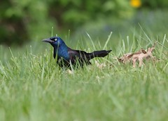 Common Grackle (MarjRemi) Tags: black grackle iridescent common
