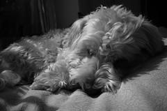 enjoy spring sun (TorstenHein) Tags: dog dogs monochrome animal hund monochrom schwarzweiss tier ricohgrii