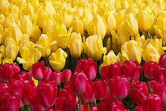 Red &. Yellow (Mohammed Alsagoor) Tags: seattle flowers red nature yellow town washington tulips tulip backgrounds