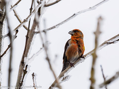 Red Crossbill (xrxss15) Tags: male birds animals germany tiere europe aves finches vgel animalia fichtenkreuzschnabel fringillidae badenwrttemberg redcrossbill mnnlich loxiacurvirostra mummelsee seebach