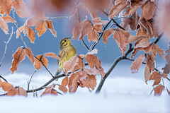 On the beech (lookashG) Tags: las trees winter snow tree bird nature birds animal animals fauna forest wildlife natura aves wintertime zima animalia emberizacitrinella buk nieg 300mmf28 ptak yellowhammer europeanbeech ptaki fagussylvatica drzewa zwierzta portretrodowiskowy treecrowns commonbeech trznadelzwyczajny trznadeltobrzuch bukzwyczajny lookashggmailcom portraitofenvironmental ukaszgwidziel sonyilca77m2 bukpospolity