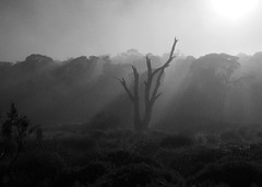 Morning Sunbeams (Kaptain Kobold) Tags: morning light blackandwhite tree nature dawn nationalpark sunbeams kaptainkobold