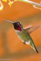 IMG_3172.jpg (ashleyrm) Tags: travel arizona birds museum sonora desert tucson hummingbirds birdwatching avian tucsonarizona hummingbirdaviary