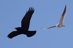 Skirmish - kite v raven /3 (Geoff Main) Tags: kite bird australia act birdofprey birdinflight blackshoulderedkite australianraven canonef300mmf28lisiiusm canon7dmarkii canonefextender20xiii