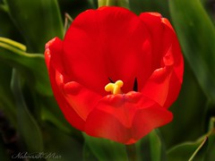"""""""Don't dream your life live your dreams"""" (NaturewithMar) Tags: red flower macro green tulips background tulip macromondays"""