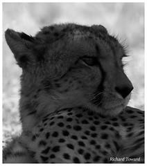 Close up (rdtoward21) Tags: nature southafrica outdoors wildlife bigcat cheetah kalahari
