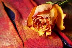 Another Rose (evisdotter) Tags: light stilllife flower macro colors rose bokeh stilleben blomma ros sooc coth5
