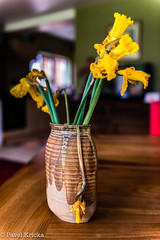 PPC_9368-1 (pavelkricka) Tags: england ceramic dead droopy daffodil stoneware
