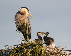 Babysitting (Bill McBride Photography) Tags: blue baby bird heron nature canon eos sitting play nest florida wildlife watch great young melbourne chick wetlands april fl greatblueheron avian viera ardeaherodias 2016 70d ef100400l ritchgrissommemorial