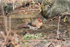 Madame cardinal au bain-15.jpg (Sylvain Bdard) Tags: montral cardinal animaux oiseau lieux jardinbotaniquedemontral