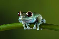 Ruby Eyed Tree Frog, CaptiveLight, Bournemouth, UK (rmk2112rmk) Tags: uk frog bournemouth treefrog rubyeyedtreefrog captivelight leptopelisuluguruensis