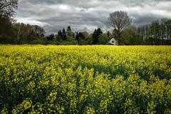 Fields of Gold (creyesk) Tags: sky flower germany gold gloomy cologne kln warehouse fields rodenkirchen