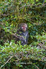 Harry_28955,,,,,,,,,,,,, (HarryTaiwan) Tags: monkey nationalpark nikon taiwan    d800 nantou          yushannationalpark  formosanrockmonkey      harryhuang hgf78354ms35hinetnet adobergb