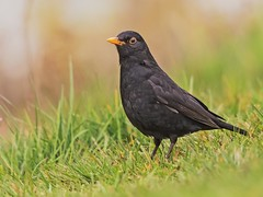 Black Beauty (coopsphotomad) Tags: nature bokeh britain wildlife british blackbird