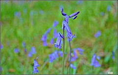 Bluebell wood (Kath Williams(i never get Explore)) Tags: blue wild nature bluebells forest woodland