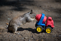 Squirrel VS The Chip Mobile (jimsheaffer) Tags: california nature animals squirrel funny humor animalbehaviour leocarrillo leocarrillostatebeach nikond750 leocarrillocampground