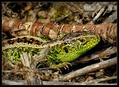 Sonne tanken (karin_b1966) Tags: nature animal garden reptile natur garten tier reptil 2016 gardenlizard garteneidechse