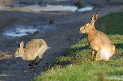 Hare v Rabbit: Which is fastest? (Tim Melling) Tags: brown west rabbit hare district yorkshire peak europaeus lepus oryctolagus cuniculus timmelling