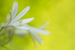 Anthericum liliago (stefan_zwi) Tags: park wild plants white plant flower color macro cute green texture nature floral beauty field grass closeup garden outdoors photography flora colorful soft colours bokeh gardening outdoor head background sony magic small hell pflanze 7 sigma sharp petal growth single micro bunch bloom backgrounds grn delicate botany blume farbe garten depth muster f28 a7 freshness blooming schrfentiefe 105mm weis bltenblatt textur ilce anthericum graslilie offenblende liliago emount organisches traubige