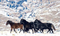 New Year. New Friends. (prairiegirrl) Tags: wyoming wildhorses greenmountain