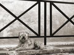 He was still waiting. . . (The Time Flows forward, not backward) Tags: italy dog sepia poodle latina cori seppia christopherholland athlondj