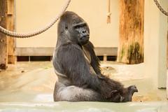 2015-12-30-12h47m21.BL7R5248 (A.J. Haverkamp) Tags: berlin germany zoo gorilla tiergarten ivo berlijn dierentuin westelijkelaaglandgorilla canonef70200mmf28lisusmlens httpwwwzooberlinde dob29011988 pobmunichgermany
