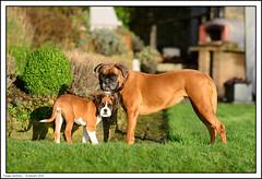 Twiggy and Roxy (ShawWellPete) Tags: uk dog animals kent boxer roxy sevenoaks twiggy