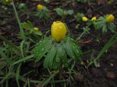 Winter Aconite (annrushworth) Tags: winter yellow raindrop aconite