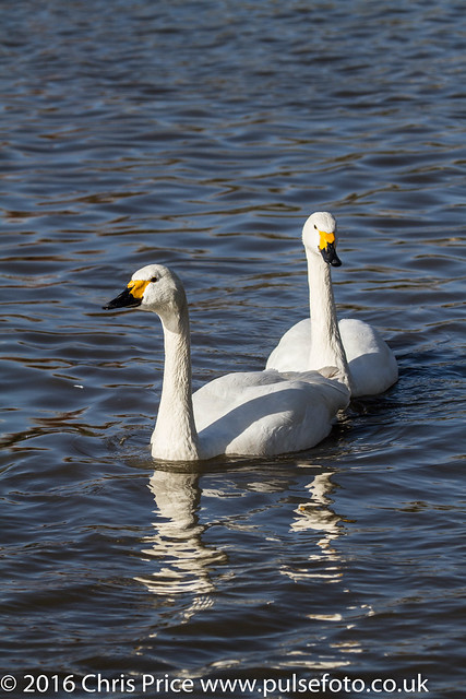 Whooper Swans at WWT Slimbridge
