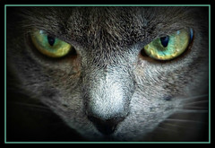 Green and Grey (Jason 87030) Tags: test animal cat fur grey eyes feline pussy whiskers february millie 2016