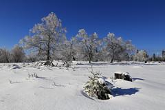 Three Big and One Small (winkler.roger) Tags: winter snow nature germany landscape blackforest fallentree freudenstadt schwarzwaldhochstrasse kniebis