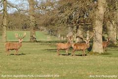 Red Deer, Badminton Park, Gloucestershire 2016 (raybird299) Tags: animals wildlife gloucestershire badminton reddeer badmintonpark