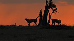 Cheetahs Marking at Sunset (1558) (Bob Walker (NM)) Tags: africa kenya masaimara