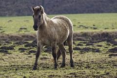 Konik-Pferde - 2016-006_Web (berni.radke) Tags: horse pferd konik konikhorses olfen steverauen konikpferde