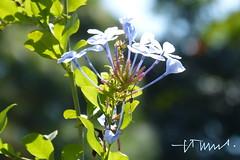 Blue Plumbago, Guatemala (ssspnnn) Tags: guatemala plumbago plumbaginaceae hiltongardeninn blueplumbago capeplumbago spereiranunes snunes spnunes pasonicdcfz60 plumbagoauriculate