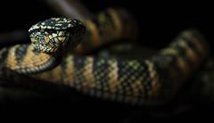 Viper (Tom Strawn) Tags: nikon snake d750 nikkor viper venemous 2485
