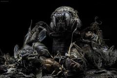 Zombie Bombus (Murat ztrk...) Tags: death zombie bee bombus ar