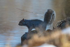 7K8A2436 (rpealit) Tags: nature field squirrel scenery wildlife gray east alumni hatchery hackettstown