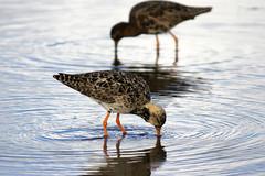 Two Ruffs (Jaedde & Sis) Tags: two bird water denmark dof ruff wading philomachuspugnax challengeyouwinner 15challengeswinner thechallengefactory herowinner brushns perpetualwinner