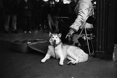 (littlespectacle) Tags: seattle leica dog public husky minolta market kodak rangefinder m wa f2 40mm pikeplace busking 125 plusx xtol cle px rokkor