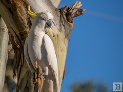 Cockatoo (Joel Bramley) Tags: blue white tree bird nature yellow wildlife australia crest
