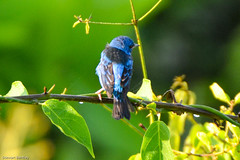 BLUE DACNIS (stewartbentley46) Tags: panama bluedacnis